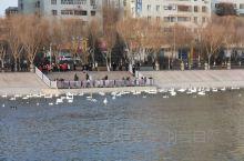 冬季孔雀河天鹅聚会