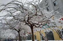 大雪压枝头