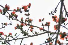 木棉花的春天来啦!特殊时期,民宿暂停营业,索性放下一切,归园田居吧!走在乡间的小路上,木棉花含苞欲放
