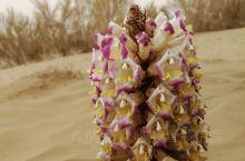 沙漠是荒芜的,但也有顽强的生命在绽放!梭梭树和它的寄生好友大芸(新疆肉苁蓉),大芸花上有好多会飞的虫