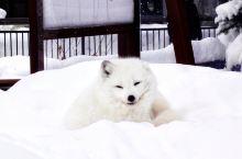 北海道探访极地萌宝  旭山动物园位于北海道旭川市,是日本最靠北的动物园,也是最大的极地动物园。到了旭