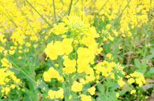 三月,家长的那一抹金黄色总是让我迷恋,美美景色,美美的人儿