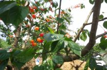 威远的樱桃