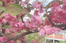 卢拉小镇在春天主干道都是这样的樱花 周边居民们家门口也都是 这个品种中文叫晚樱 花比较大 颜色还是依