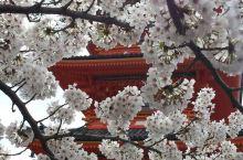 清水寺的樱花!
