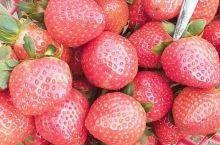 走进草莓园 就有扑面而来的草莓香味 足以让我忘记一天的烦恼 草莓的味道更是迷人
