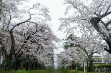 樱花季来到青森,从青森站搭乘五能线去芦野公园,转车时得知因为强风津轻铁道暂停运行……一车的人大概一半