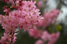 如同绸缎般细腻的花朵被一团团的扎起,好似一大块粉色的浮云,被夕阳最后的余晖镀上一-层金黄,从远处遥望