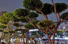 宜宾街区景观树真是不错,下功夫了,点赞