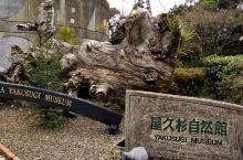 屋久杉自然馆中和馆生长在一起的艺术品 这次去日本旅行在屋久岛町居然那些很原始的屋久杉自然馆。我只想说