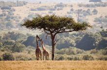 相亲相爱-长颈鹿