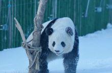 """【欢迎来哈尔滨亚布力熊猫馆看""""冰墩墩""""】北京冬奥会吉祥物""""冰墩墩""""面世,是一只拥有冰雪外壳的大熊猫。"""