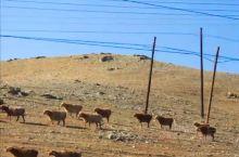 自驾新疆,路上很多风景,都是非常美的。  在省道S228上,我们看到了这么一幕。  漫山遍野的羊群,