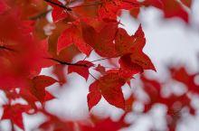 我在昆明植物园里,和秋天撞了个满怀  在昆明说到最佳赏枫地,莫过于中国科学院昆明植物园享誉春城的枫香