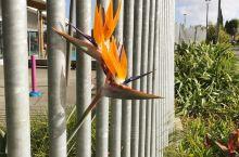 天堂鸟也出墙。