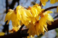 雪霁天晴朗, 腊梅处处香。  在武汉黄鹤楼,闻香寻花,初次遇见,不知此花为何物,后想起网上说此时正是