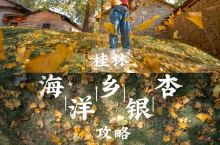 桂林海洋银杏攻略,赏海洋银杏时间表 一到秋天,桂林的 海洋村  的金银满地吸引着各地的游客慕名前来。
