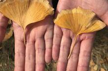 千年银杏谷,随州洛阳镇,秋季一片片银杏树,树形结构好,银杏树是我国古老的树种,它是神奇的医疗之树,2