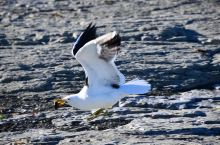 吃海螺的海鸥
