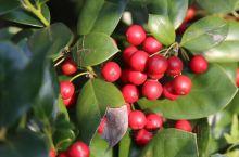 枸骨,无刺枸骨。果子如红宝石般挂满枝头!  此树无主干,基部以上开叉分枝。叶硬革质,椭圆形,叶互生。