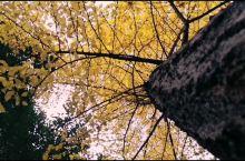 涟源·娄底  银杏树真的很美!特别是比较高大的!