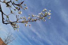 春风送暖,梨花绽放