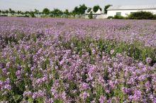 紫色油菜花