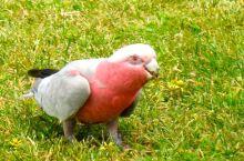 大洋路上与珍禽异兽零距离。 鹦鹉是澳大利亚人最喜欢的鸟,品种也很多,人与鸟相处非常融洽。没想到,大洋