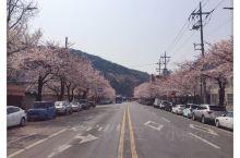 到镇海了,满街的樱花树,将我这个大老爷么的少女心都勾起来了啦,美美美