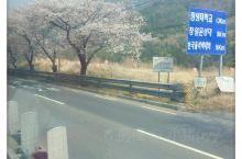 从大巴的车窗望去,道路两旁都是盛开的樱花树!美不胜收