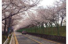 樱花大道,从这条路驶过的司机一定很幸福!