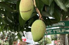 路边的芒果树