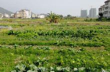 新农村菜地,自然的馈赠!
