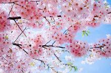 2019国内赏樱花攻略 大理樱花 你在北方的寒冬里大雪纷飞,我在南方的艳阳里花开成海! 贵州樱花海