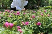无锡鹅湖玫瑰文化园是具有地域特色的玫瑰主题现代农业园区。它依托南青荡清澈的水面,周围美丽的农村自然景
