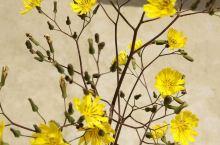 路边的小黄花