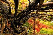花丛瀑布,美少女拍照圣地  在小时候的就听说过紫藤萝的瀑布,特别的好看,但是在日本有一个花丛瀑布更加