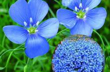 蓝色的花,绿色的草,好漂亮。