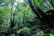 魔法森林,投入大自然怀抱  走访屋久岛的重点,是往白谷云水峡走一回,原先的计划是由入口走到太鼓岩然后
