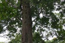景迈山万亩古茶园中的参天大树