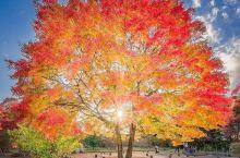 日本音乐家泷廉太郎曾登上冈城迹,抒怀写下《荒城之月》一曲,而令冈城迹声名鹊起。每到秋季变身为赏枫名所