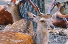 京都奈良有什么好玩?我觉得我快被那些小鹿给萌化了!  奈良公园是日本现代公园的先驱之一。春季嫩枝发芽
