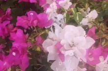 厦门特有的,呵呵,中间的才是花