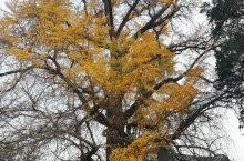 少林寺的花花草草,有1500年的古银杏,可惜去晚了点,叶子都掉的差不多了。还有见证了少林寺大火的树,