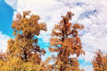 又到一年落叶时,此时便是随州银杏谷色彩最绚丽的时候,银杏树也开始披上最华美的外衣,金黄色的银杏叶灿若
