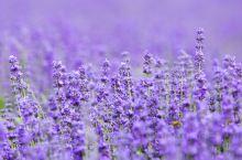 以往只知来自法国的薰衣草,而到了新疆伊犁才发现这里也同样可以看到令人心醉的薰衣草花海。伊犁薰衣草花花