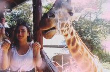 想知道舌吻长颈鹿的感觉吗?长颈鹿的舌头有点粗糙有点干[捂脸][捂脸]  ——内罗毕国家公园 长颈鹿中