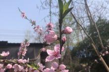 人面不知何处去,桃花依旧与春争