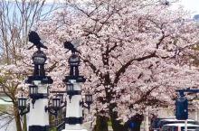 樱花盛开了   在疫情没得到好转下,日本的许多公共场所都在严格控制下。 广岛观光名胜缩景园依然不对外