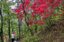 宝天曼的红杜鹃。 内乡·南阳  。